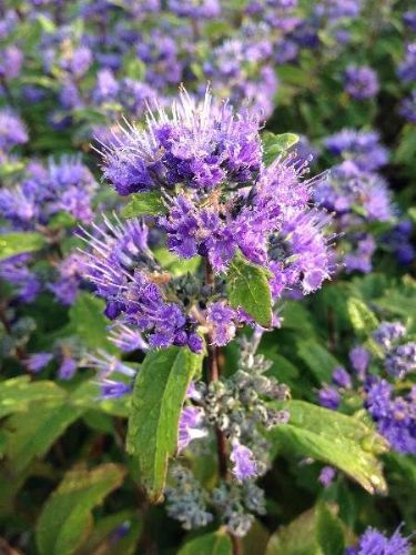 Caryopteris Grand Blue 3 Litre